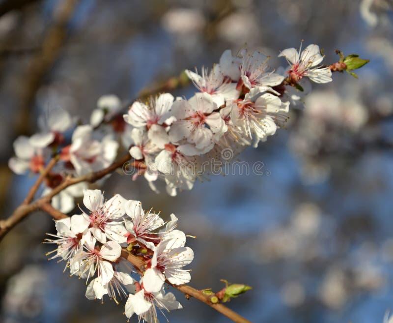 Förgrena sig med blommor av en vanlig Prunusarmeniaca L för aprikos arkivbilder