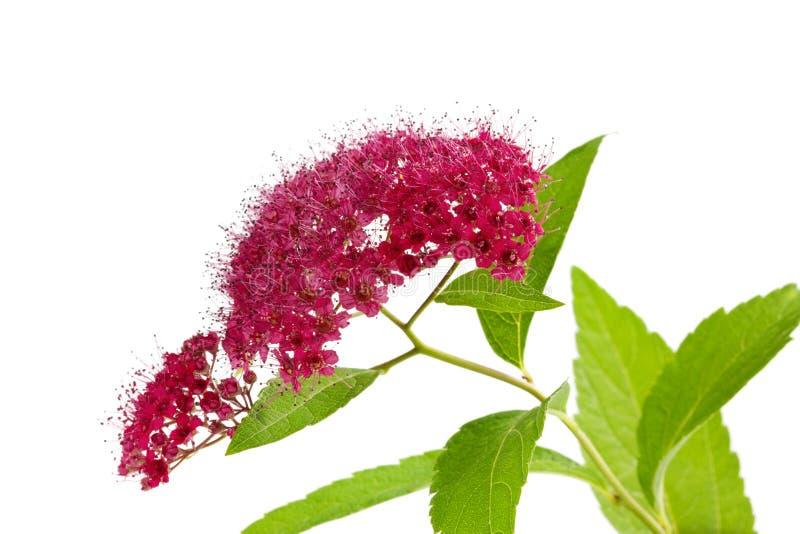 Förgrena sig med blommor och lövverk av en isolerad spireaväxt royaltyfri fotografi