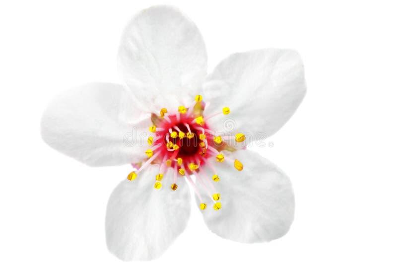 Förgrena sig med blomningar. Isolerat på vitbakgrund. arkivfoto