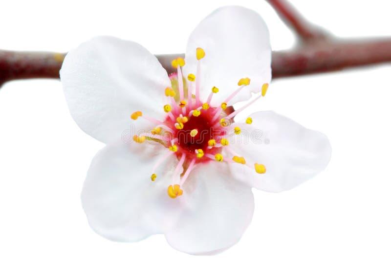 Förgrena sig med blomningar. Isolerat på vitbakgrund. royaltyfri fotografi