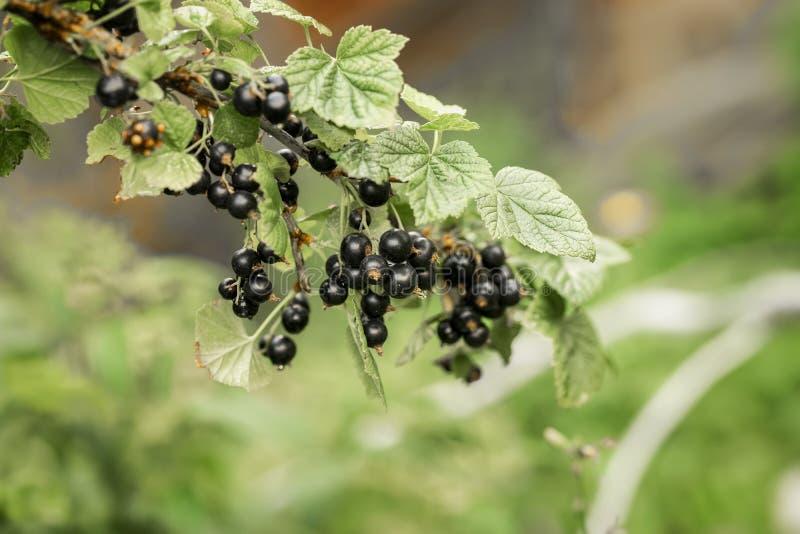 Förgrena sig med mogna bär av den svarta vinbäret, sommardag Naturlig organisk ny efterrätt, smaklig antioxidant royaltyfri bild