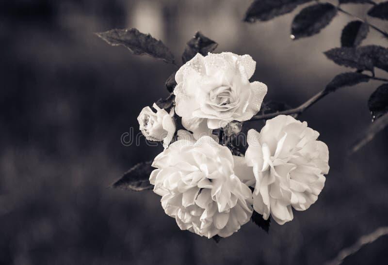 Förgrena sig med vita rosor på en naturlig grön bakgrund monokrom arkivfoto