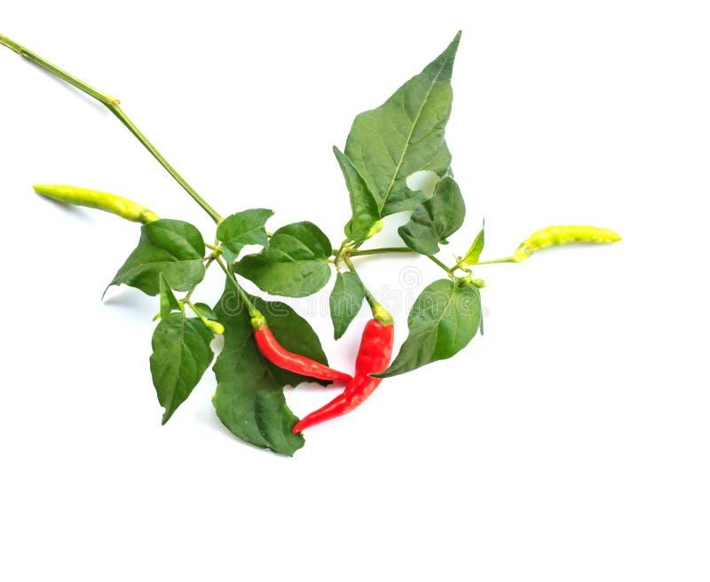 Förgrena sig peppar för den röda chili med bladet på vit bakgrund royaltyfri foto