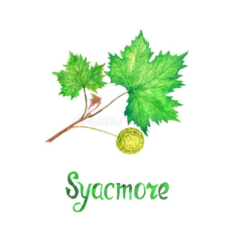 Förgrena sig trädet för den amerikanska sykomor för sykomor, platanusoccidentalis med gröna sidor och frukt, den hand målade vatt vektor illustrationer