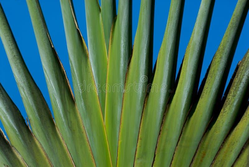 förgrena sig ut palmträd fotografering för bildbyråer
