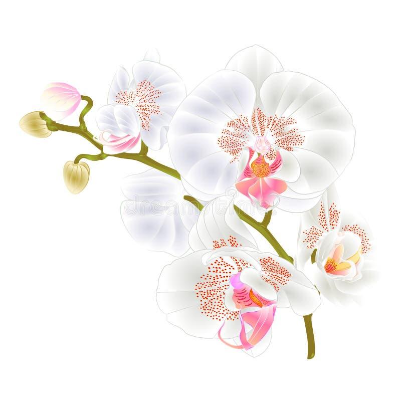 Förgrena sig växten för Phalaenopsis för vita blommor för orkidér den tropiska på en botanisk illustration för vit bakgrundstappn stock illustrationer