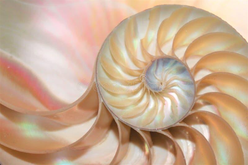 Förhållande för tillväxt för struktur för spiral för tvärsnitt för NautilusskalFibonacci symmetri guld- royaltyfri foto