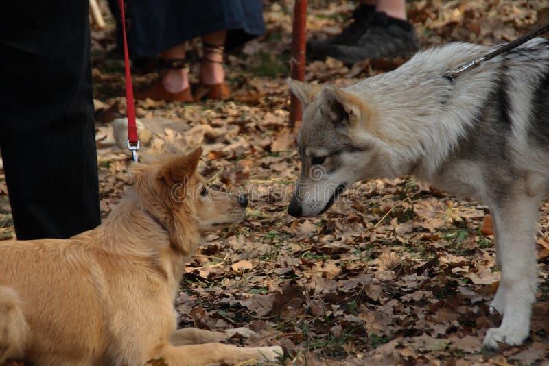 Förhållande mellan hundkapplöpning arkivbild