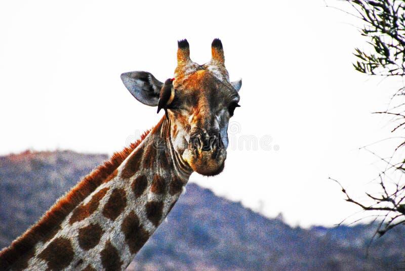 Förhållandet mellan fågeln och giraffet royaltyfria foton