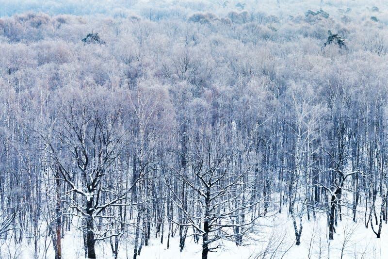Förkylningblått gryr över snöig skog i vinter royaltyfri fotografi