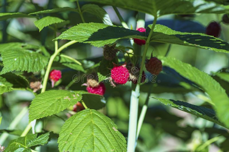 Förlora-upp av det mogna hallonet i fruktträdgården, moget hallon Rött hallon med bladet på grön bakgrund arkivbilder