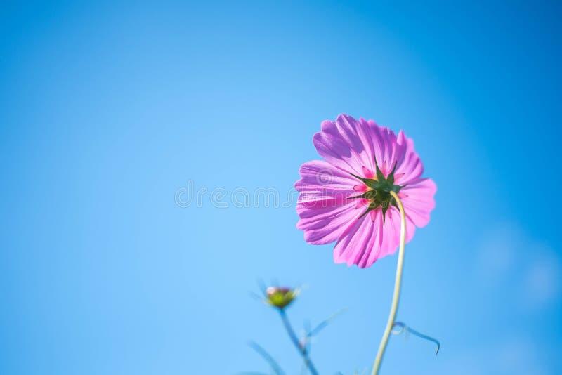Förnimmelse; Kosmos Bipinnatus; Stående övre Towerd för rosa kosmos himmel fotografering för bildbyråer