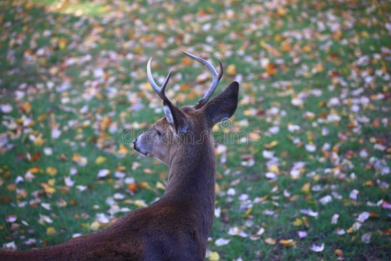 Förorts- trädgårdhjortar royaltyfri foto