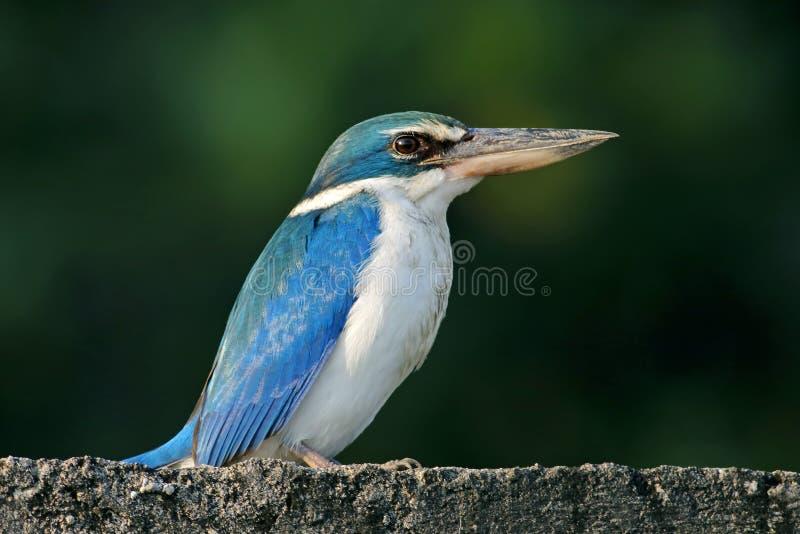 Försåg med krage fåglar för kungsfiskareTodiramphus chloris av Thailand royaltyfri foto