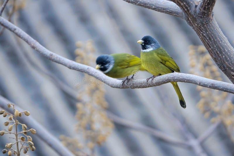 Försåg med krage Finchbil royaltyfri fotografi