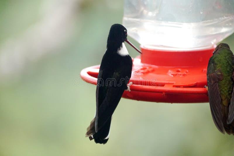Försåg med krage Inca Hummingbird royaltyfria foton