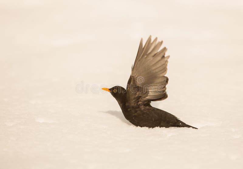 Blackbird som tar av arkivbilder