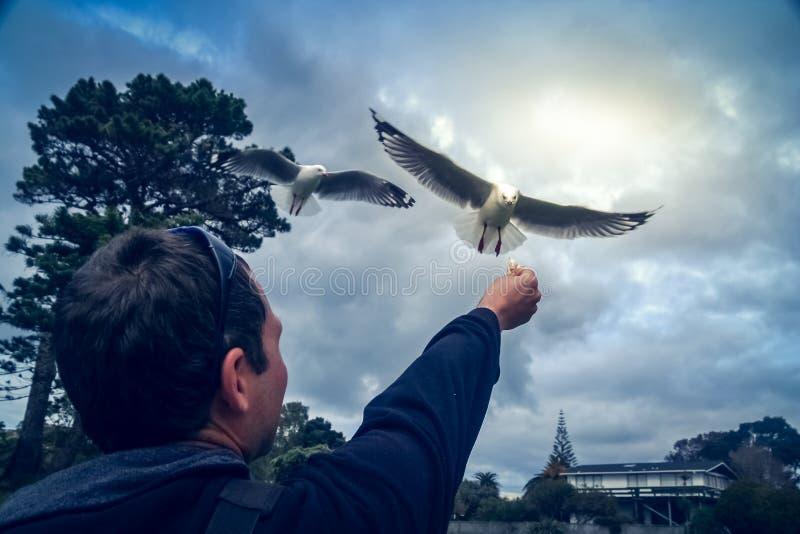 Försökande matade seagulls för man royaltyfria foton