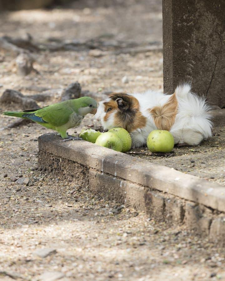 Försökskanin- och parakiterpapegoja i lantgården royaltyfri fotografi