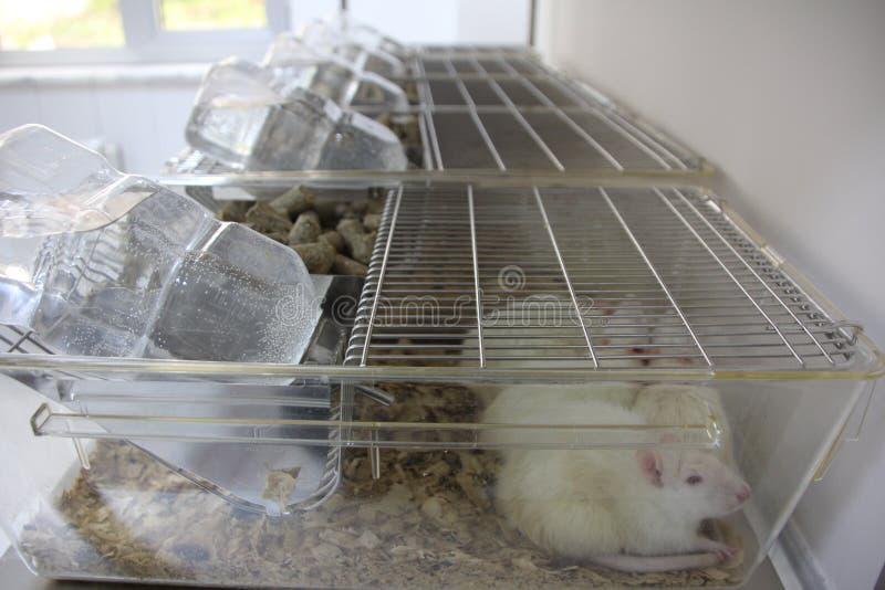 Försökskaniner labb tjaller, möss arkivfoton