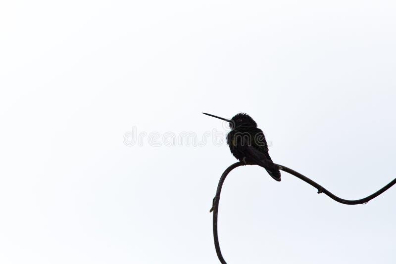 Försedd med krage inca som sitter på filialen, kolibri från regnskogen, Colombia, Rio Blanco, fågel som sätta sig, mycket liten h royaltyfri bild
