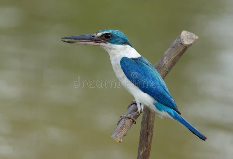 Försedd med krage KingfisherTodiramphus chloris fotografering för bildbyråer