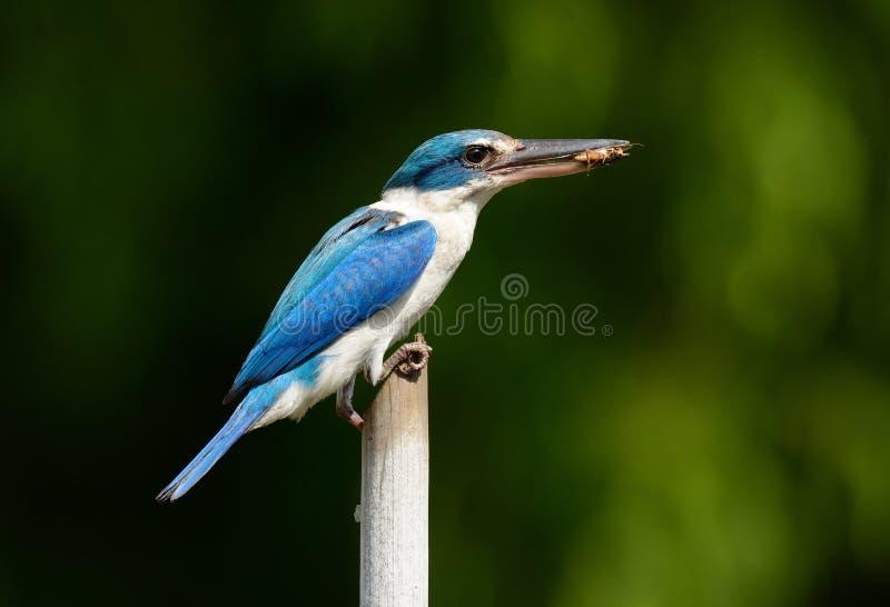 Försedd med krage KingfisherTodiramphus chloris arkivbilder