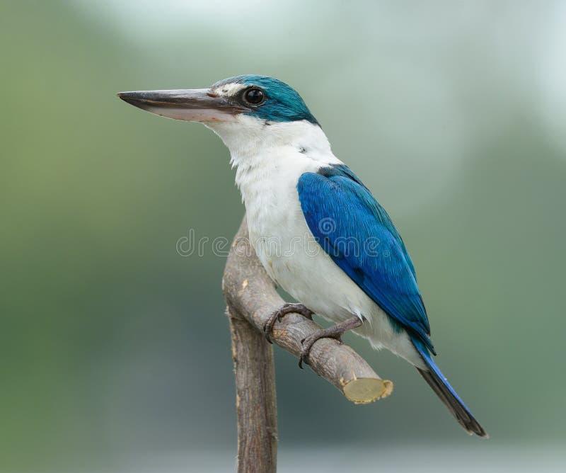 Försedd med krage KingfisherTodiramphus chloris royaltyfri foto