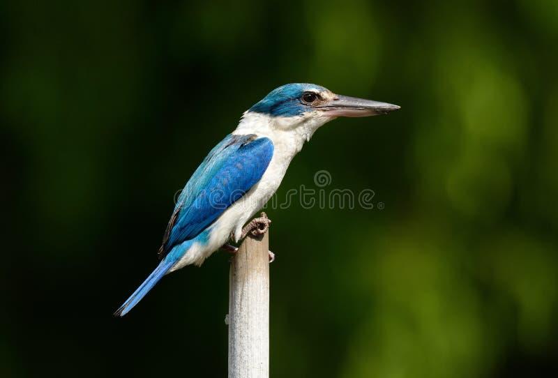 Försedd med krage KingfisherTodiramphus chloris arkivfoton