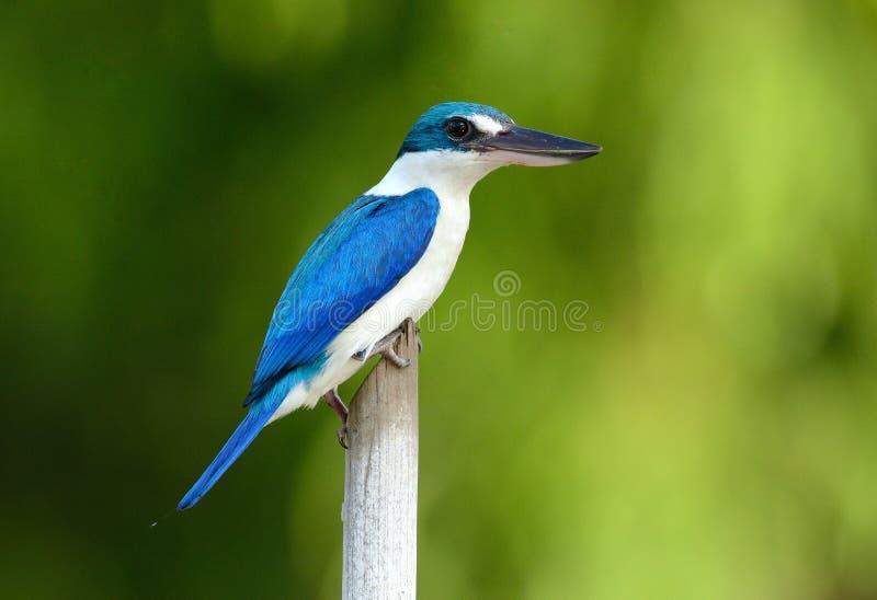 Försedd med krage KingfisherTodiramphus chloris arkivbild