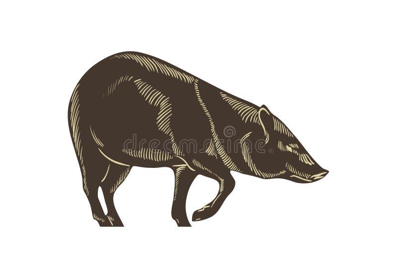 Försedd med krage navelsvinvektor Dragen illustration för vildsvin hand Isolerat på wightebakgrund stock illustrationer