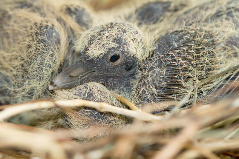 Försett med krage duvarede med fågelungar/Streptopelia deca arkivfoton