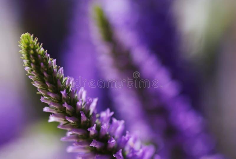 Försiktig bakgrund för blomma med lila lösa blommor för sommar arkivbild