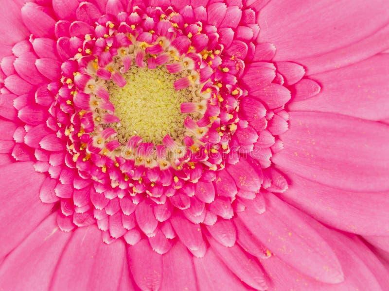 Försiktig gerbera för rosa färgblomma arkivbild