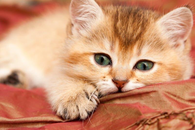 Försiktig guld- brittisk kattunge som vilar att ligga på sängen royaltyfri foto