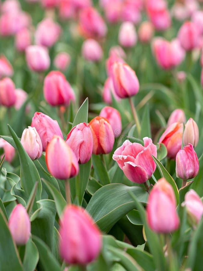 Försiktig jätte- rosa tulpanfestival av tulpan royaltyfri fotografi