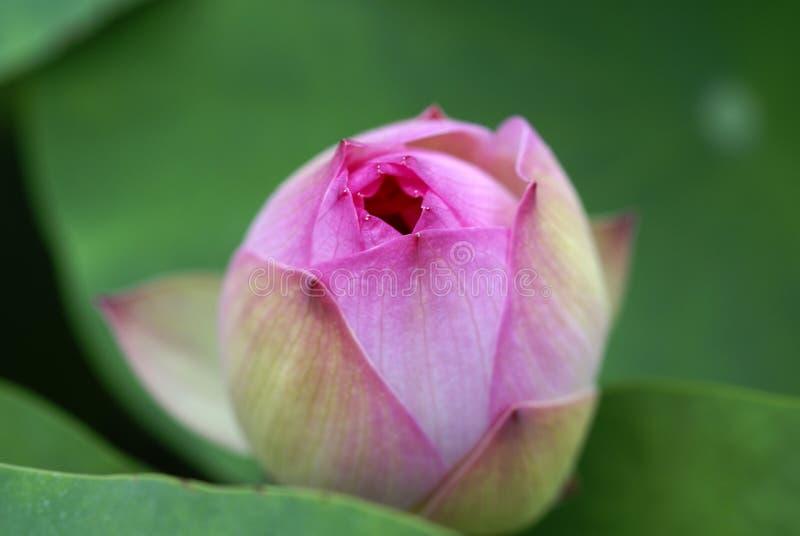 försiktig lotusblomma arkivbilder