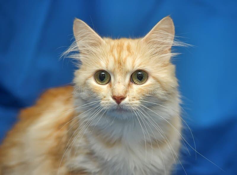 Försiktig persikafärg för katt arkivfoton