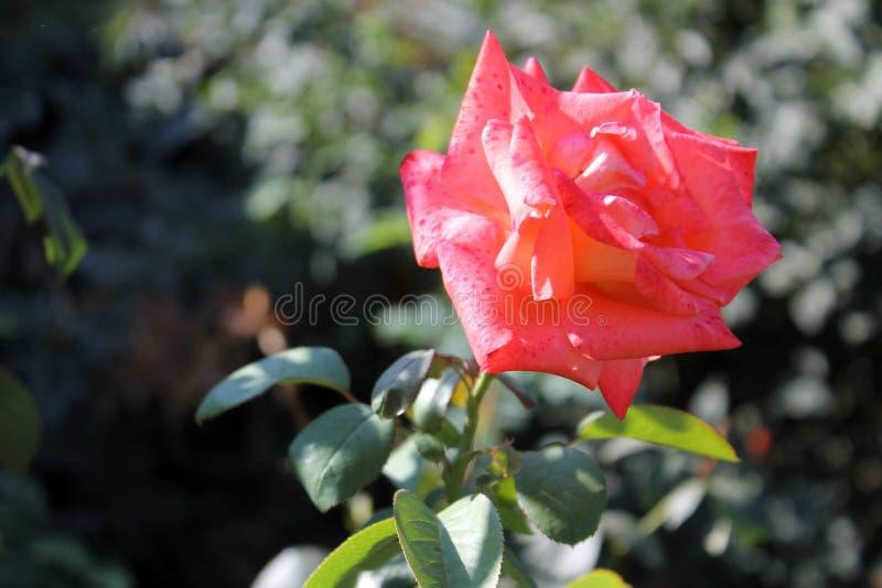 Försiktig röd färg för blomma under det ljusa solskenet fotografering för bildbyråer