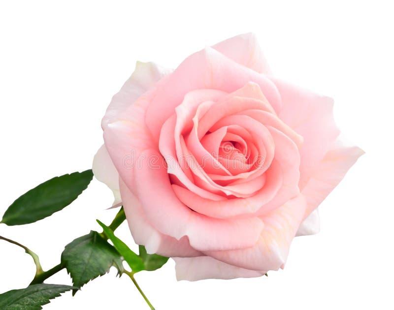 Försiktig rosa färgros som isoleras på vit arkivbild