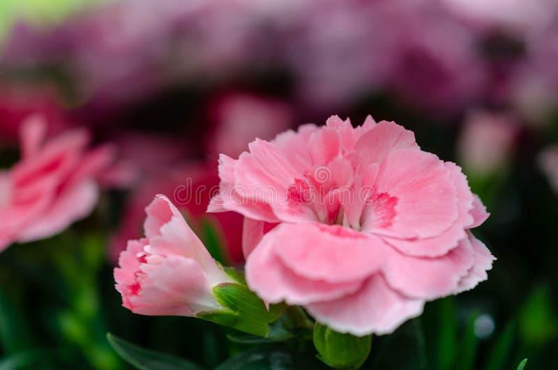 Försiktig rosa nejlikablommamakro arkivfoto