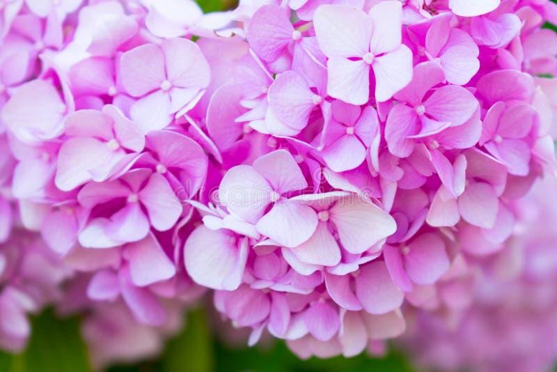 Försiktig rosa vanlig hortensiavanlig hortensiamacrophylla t?t m?rk blommaorchid f?r bakgrund upp grunt djupf?lt royaltyfri bild