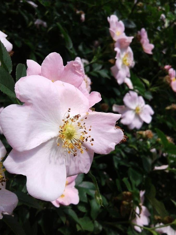 Försiktiga ljusa kronblad Härlig läka växt Dekorativ taggig buske Många stamens och pistillar i höfterna arkivfoto