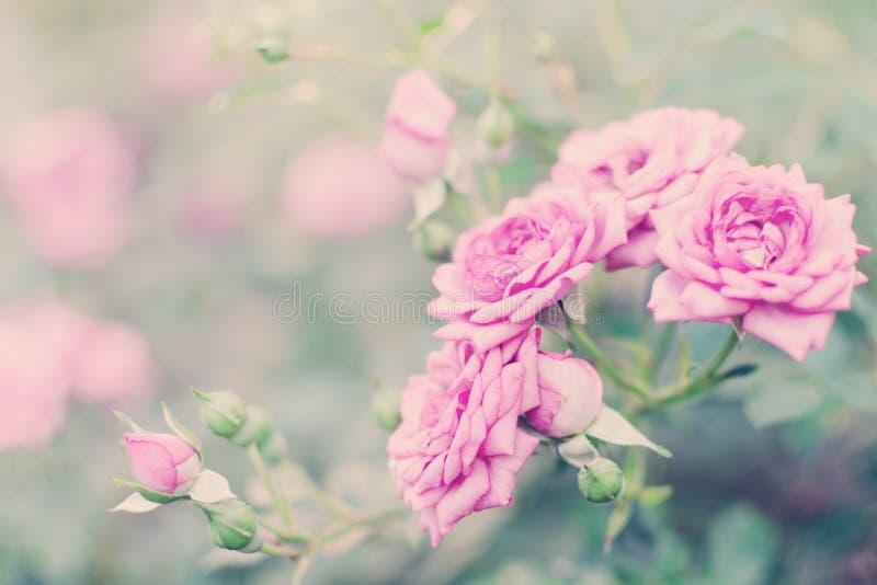 Försiktiga rosa färgrosblommor, härlig bokeh arkivfoton