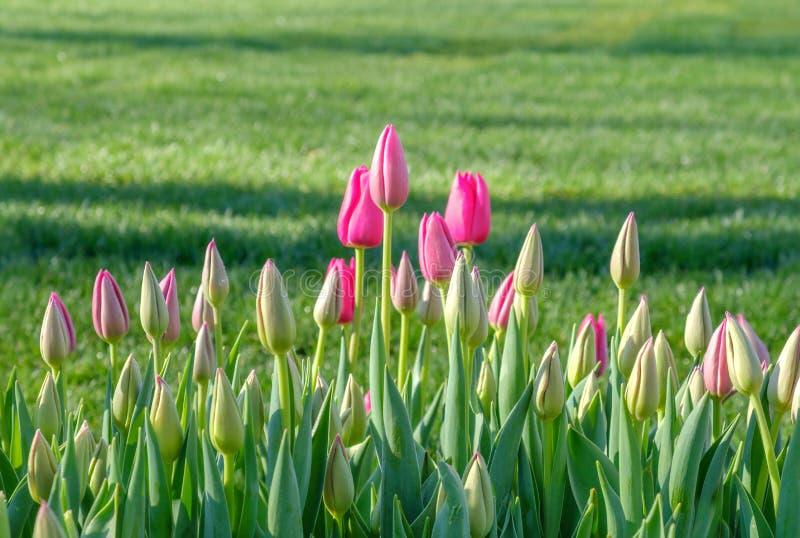 Försiktiga rosa knoppar av att blomma tulpan på bakgrunden av frodigt grönt gräs fotografering för bildbyråer