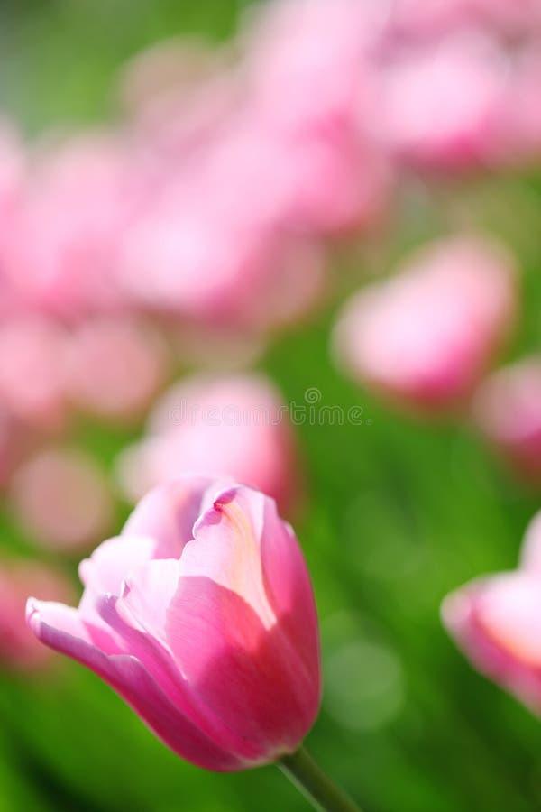 försiktiga rosa tulpan för fältblomma royaltyfri bild