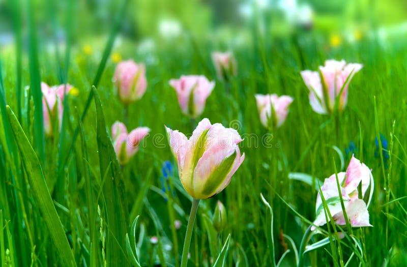 Försiktiga rosa tulpan i fältet arkivfoto