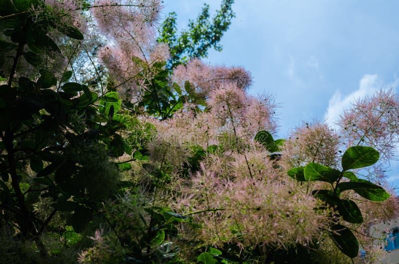 Försiktigt blommade rosa Scoumpia Luftigt ogripbart, påminner det av den barnsliga glädjen av en enorm del av söt luftull arkivfoton