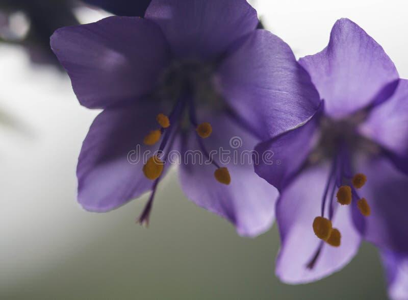 Försiktigt lila blommaklocka med gula stamens i mitt på en vit bakgrundscloseup Klockblomma arkivfoton