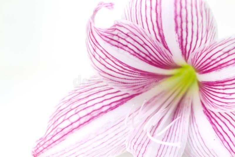 Försiktigt rosa foto för liljablommacloseup Blom- kvinnlig banermall royaltyfri foto